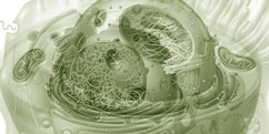 Biologie - Cellules - Basales