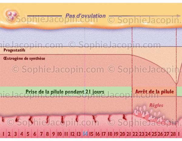 Cycle menstruel sous pilule