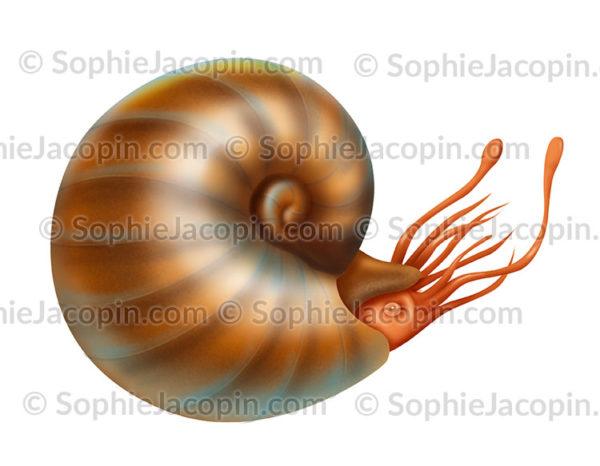 Ammonite à coquille