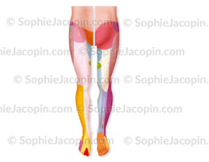 Innervation sensitive de la jambe