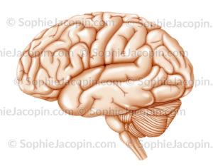 Hémisphère gauche du cerveau