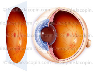 Fond d'œil normal