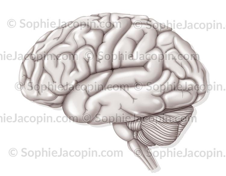 hemisphere droit hemisphere gauche