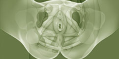 Anatomie - Appareil génital - Féminin / Périnée