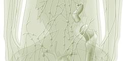 Anatomie - Générale - Système lymphatique