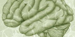 Anatomie - Système nerveux central - Cerveau / Vue de profil