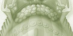 Anatomie - Système sensoriel - Goût
