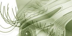 Anatomie - Système sensoriel - Vue / Paupière