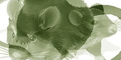 Biologie - Animale - Rongeurs