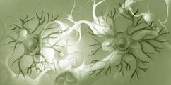 Biologie - Cellules - Gliales