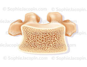 Structure osseuse normale d''une vertèbre