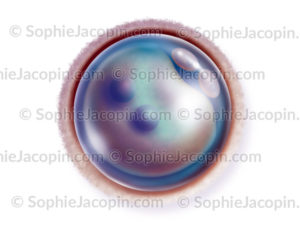 Ovule fécondé
