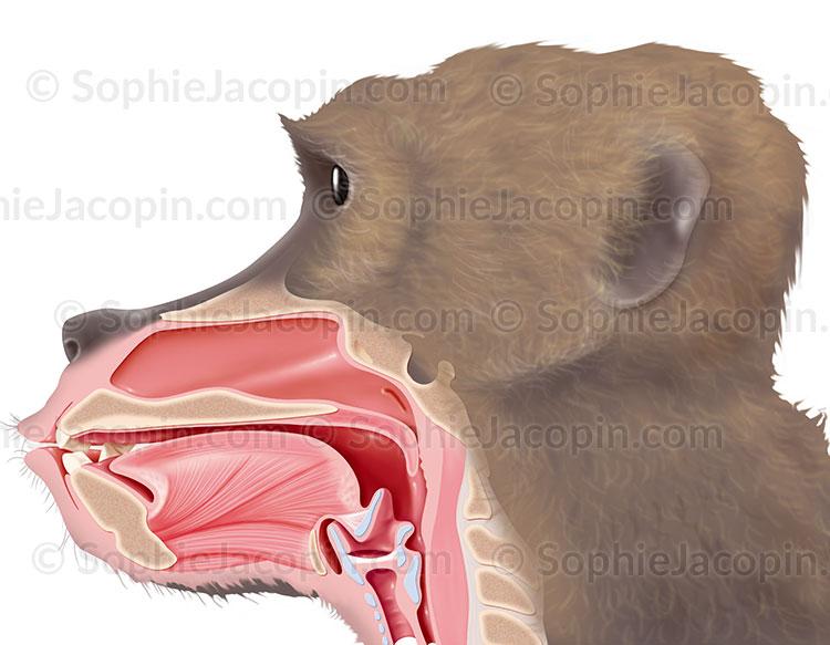 Illustration medicale_O.R.L Babouin
