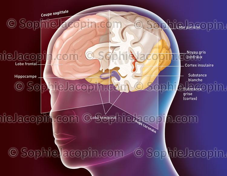 Anatomie du cerveau