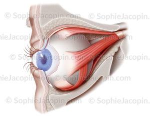 Muscles de l'oeil