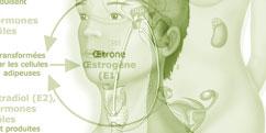 Physiologie - Système endocrinien