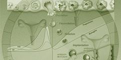 Spécialités Médicales - Gynécologie - Obstétrique / Cycle menstruel