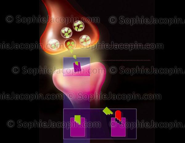 Espace inter-synaptique