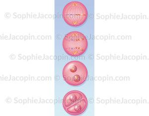 La mitose cellulaire