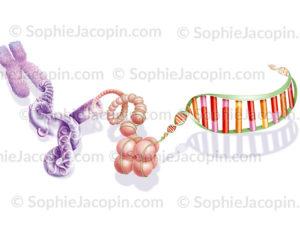 Déroulement du chromosome jusqu'à l'ADN