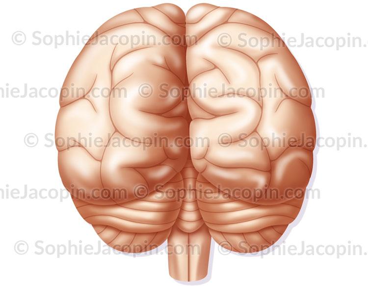 Cerveau vue postérieure