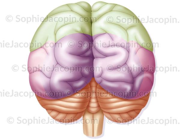 Aires du cerveau