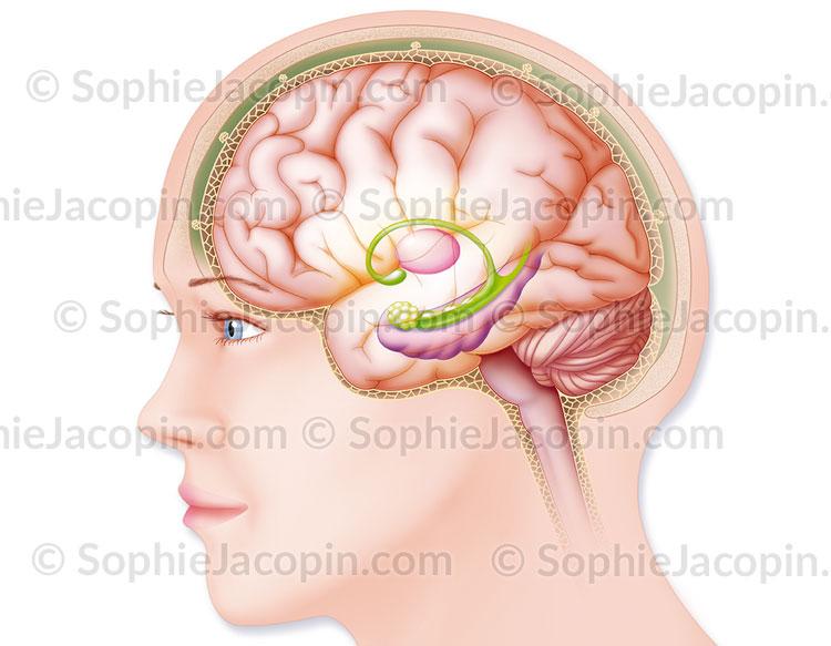 Cerveau et méninges