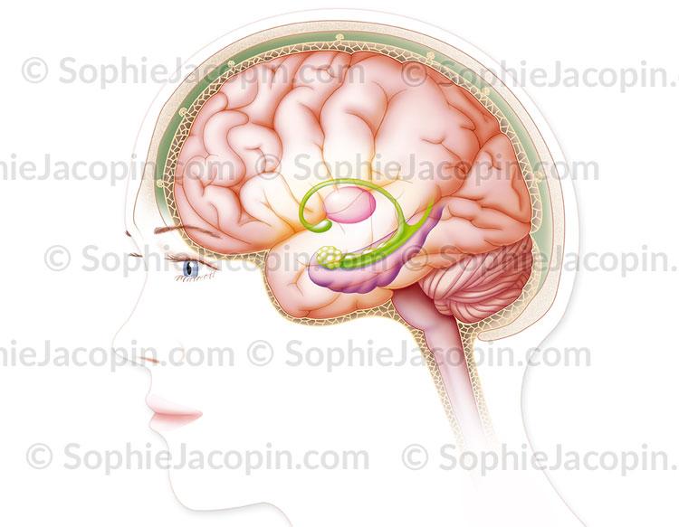 Illustration medicale_Cerveau et méninges