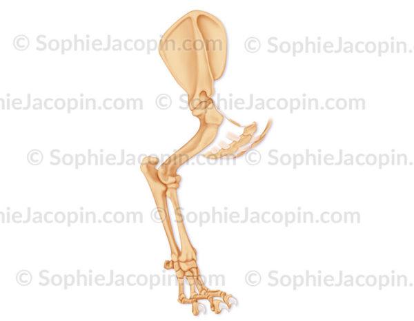 Squelette de patte de félin