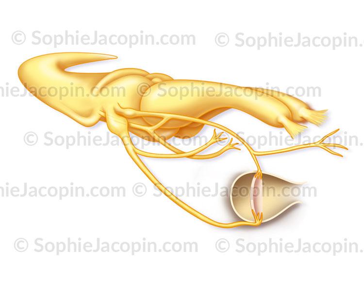 Cerveau du serpent