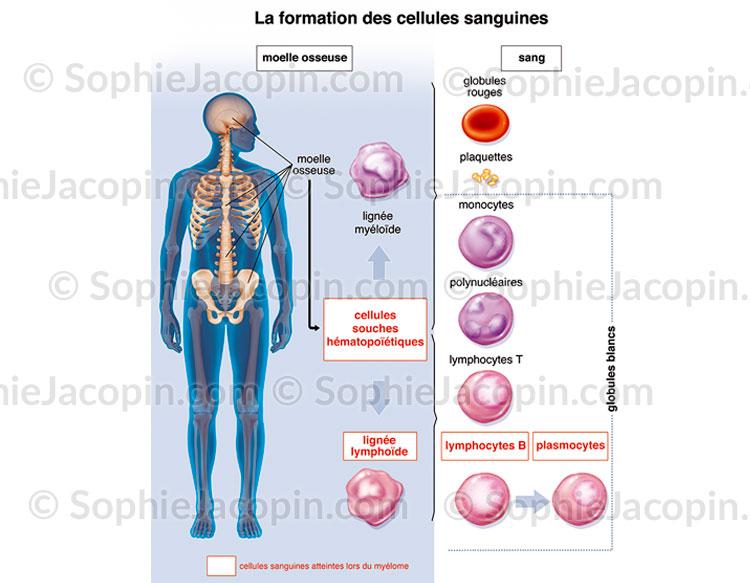 Formation des cellules sanguines