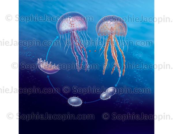 Cycle de vie de la méduse