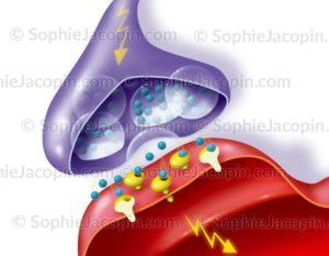 Contact synaptique, synapse entre deux neurones, transmission du signal nerveux - © sophie jacopin