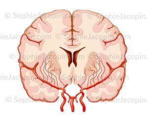 Vascularisation cérébrale