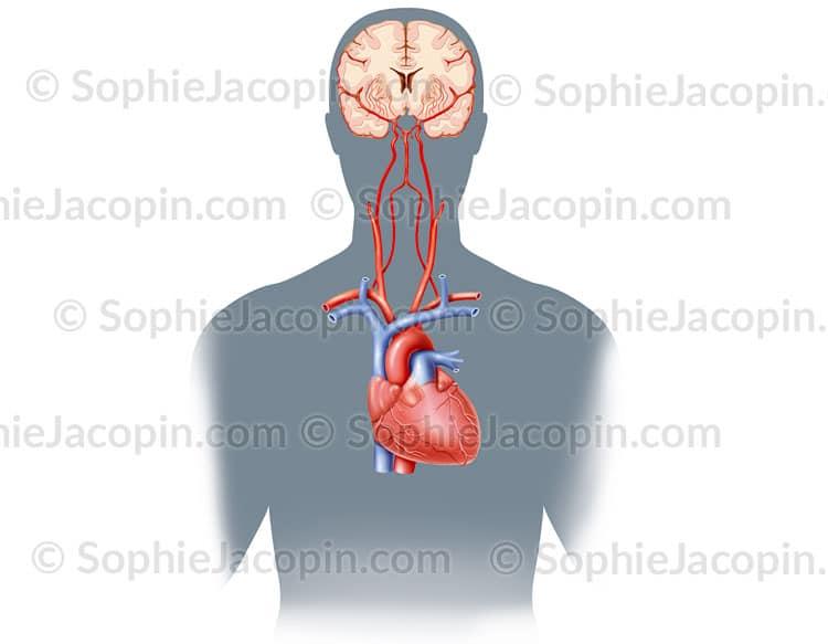 Vascularisation du cerveau