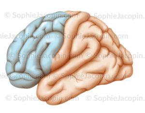 Lobe frontal