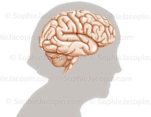 Cerveau sénior
