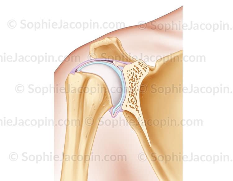 illustration médicale Articulation de l'épaule