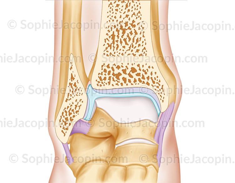 Articulation cheville
