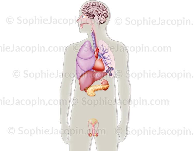 Illustration médicale Organes artificiels