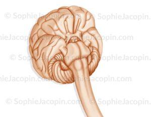 Cerveau vue 3/4 dessous