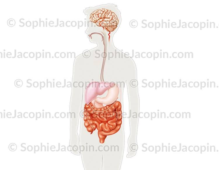 Système digestif