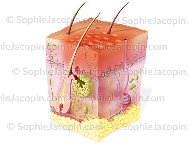 Urticaire dermatologie