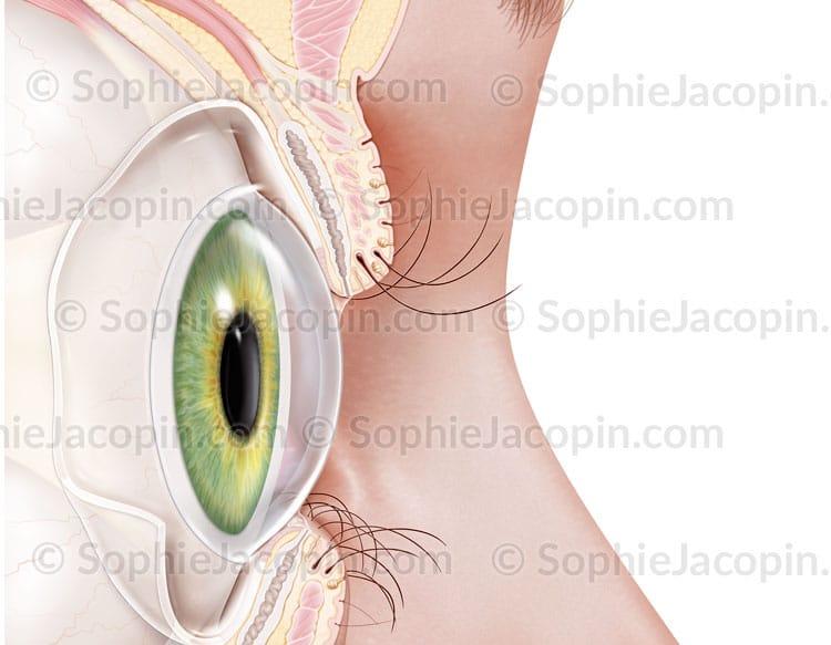 Illustration médicale- oeil-paupière