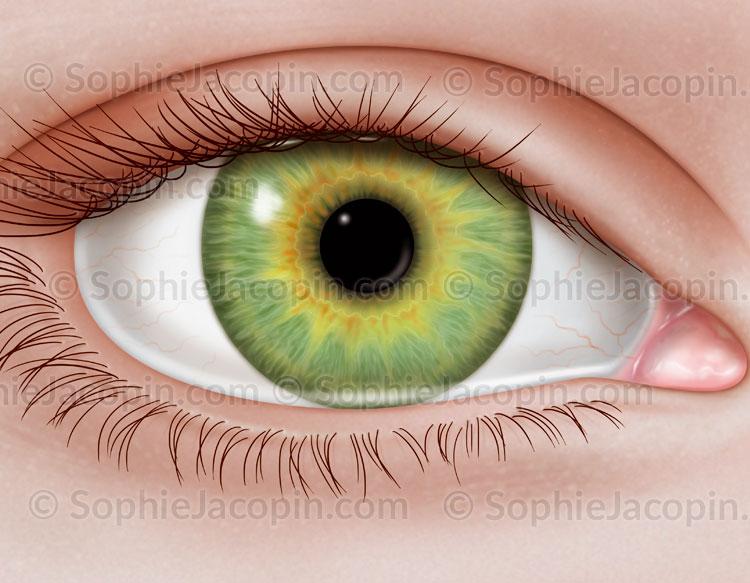 Illustration medicale_Oeil