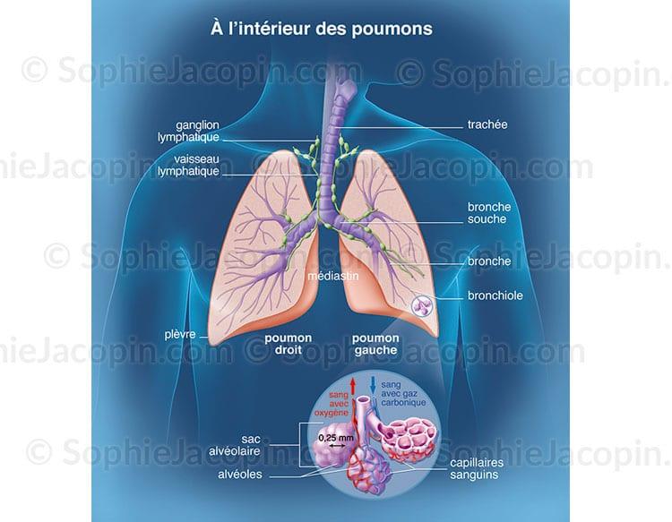 Poumons en coupe