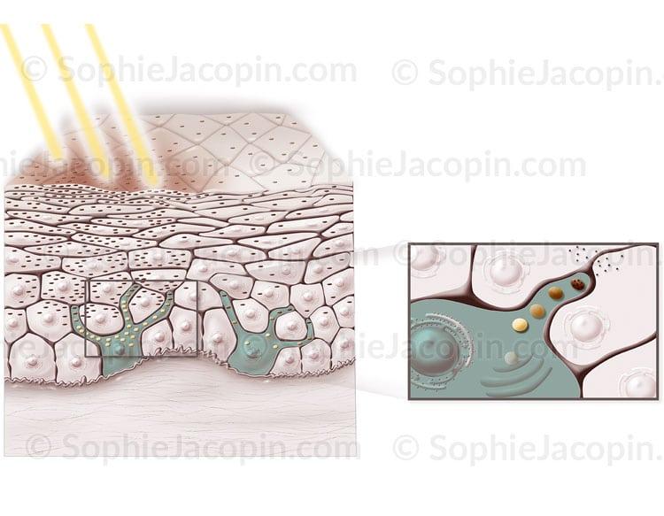 Mélanocytes-et-bronzage