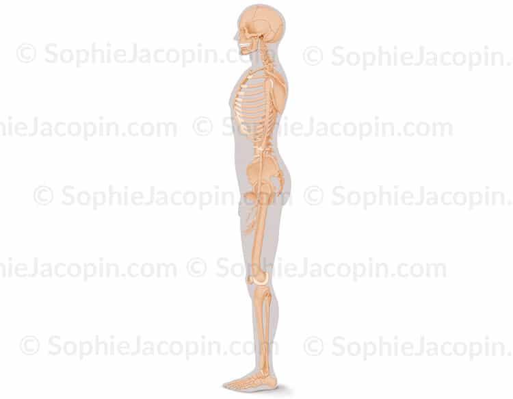 Squelette-homme-profil
