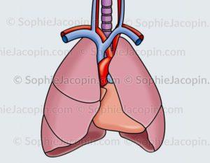 Autopsie organes thoraciques