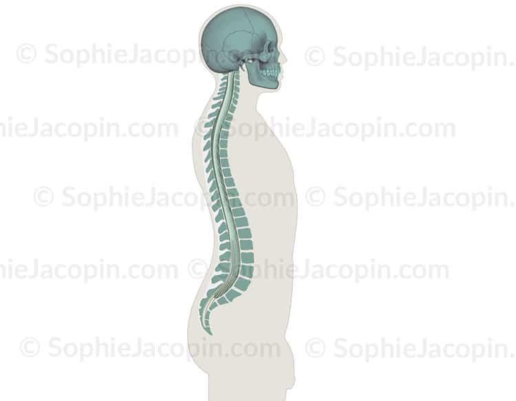 Anatomie - Système nerveux central - Moelle épinière